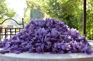 récolte des fleurs de crocus