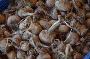 bulbes de crocus pour safran