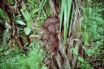 Tagua_fruit